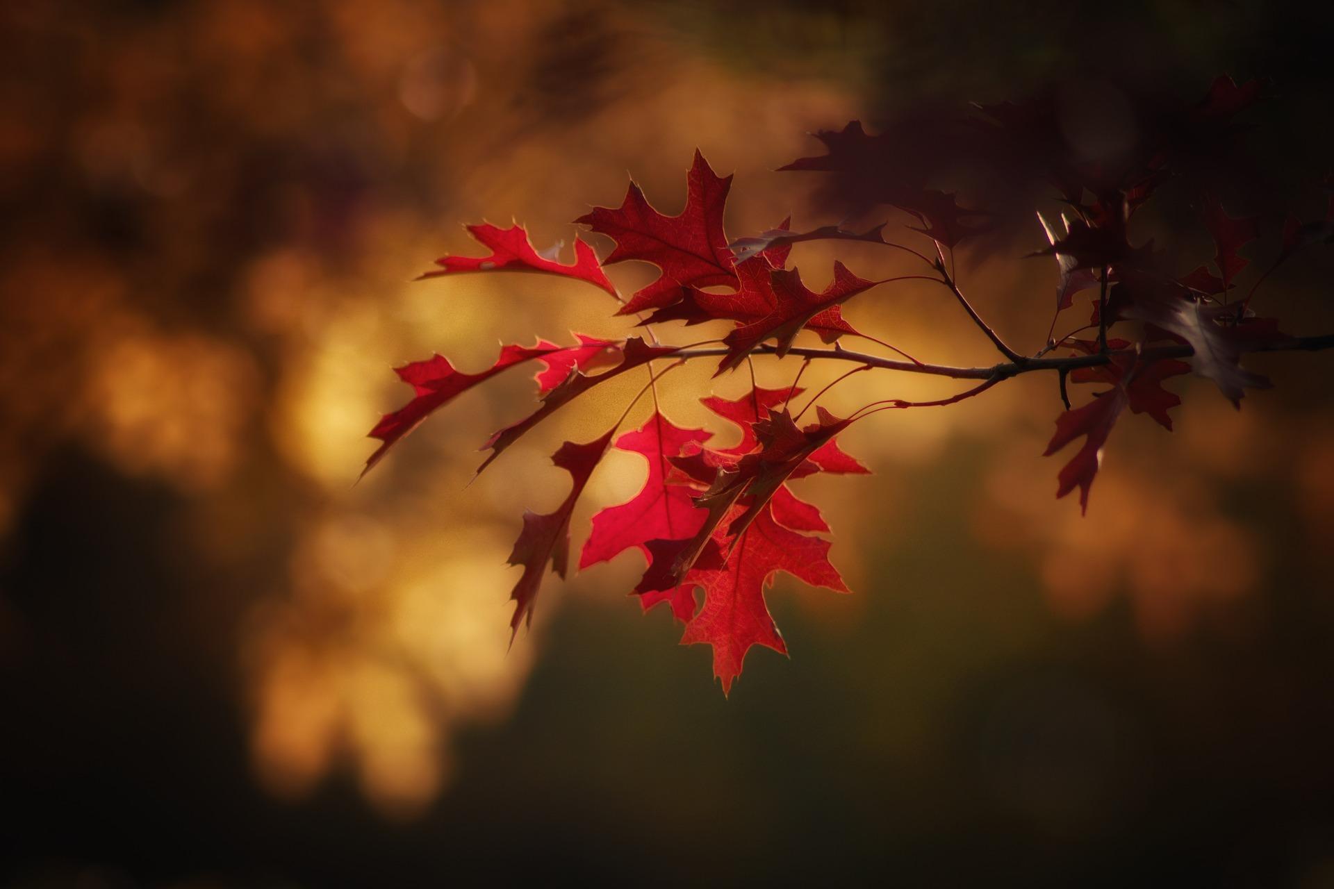 maple-leaves-2895335_1920